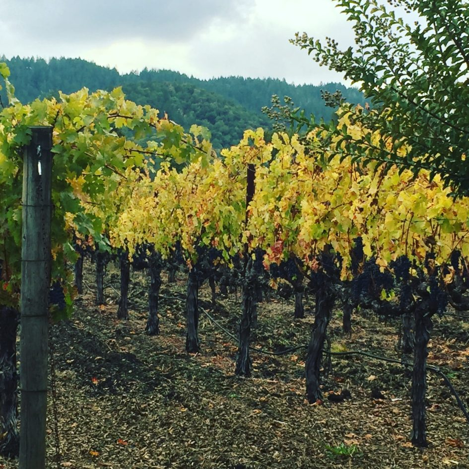 Yellow, red, and amber color leaves on fall vineyards.